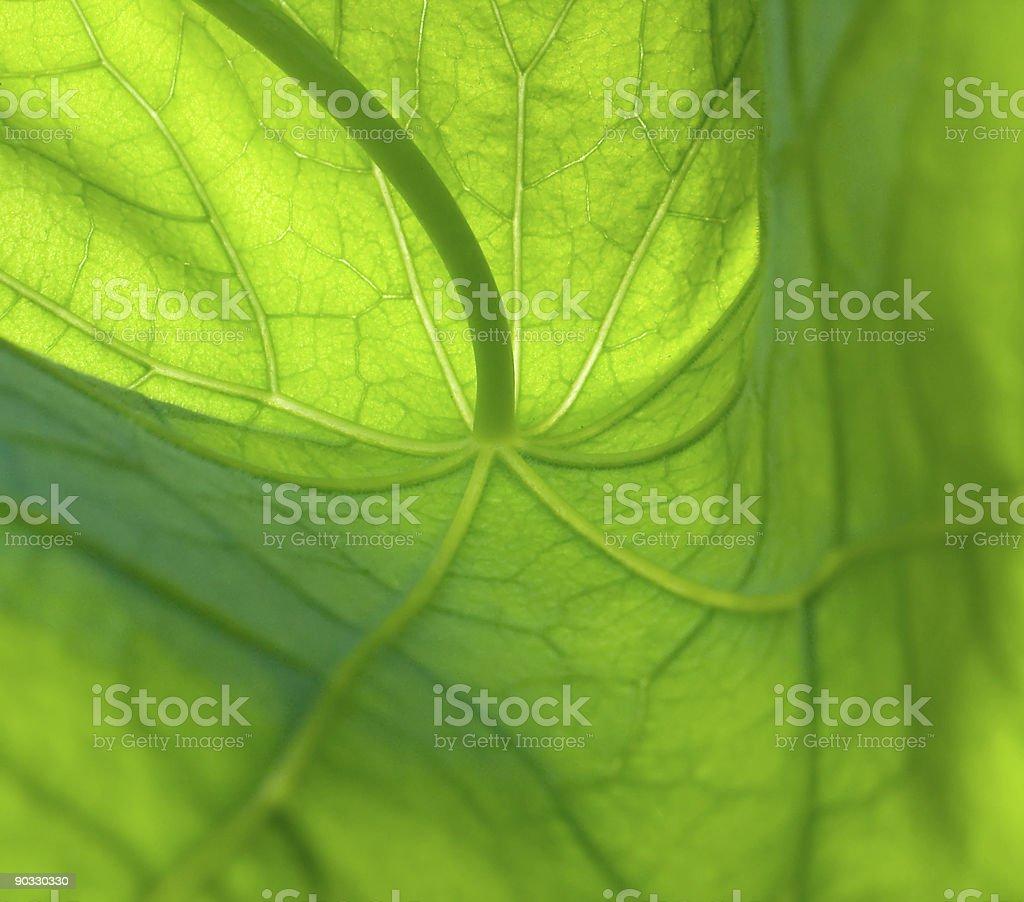 leaf of nasturtium 1 royalty-free stock photo