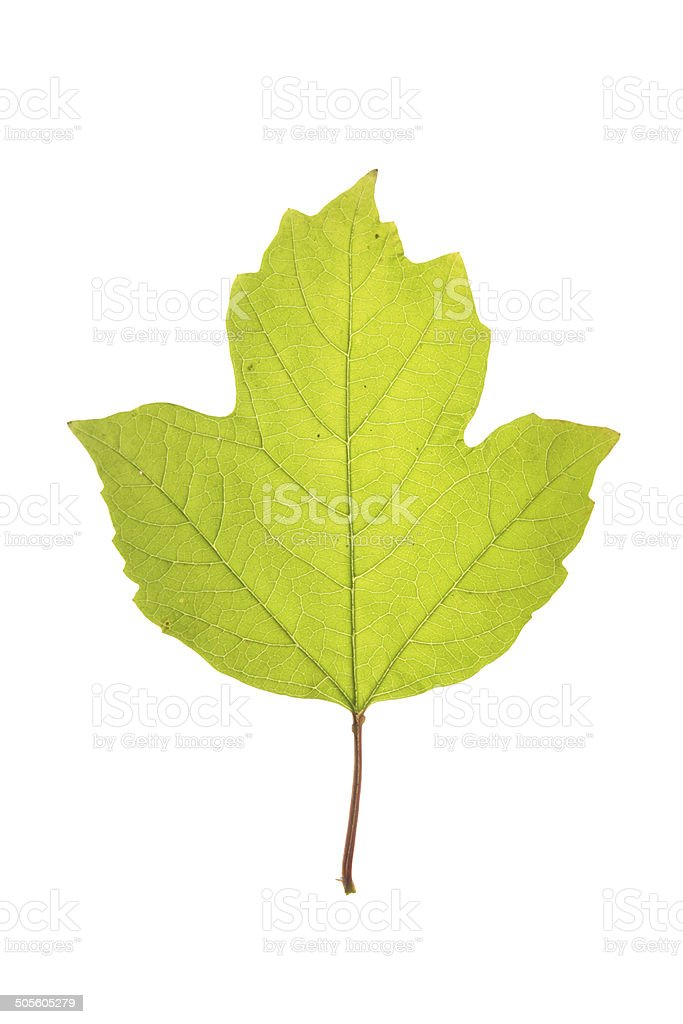 Leaf of of guelder rose isolated on white stock photo