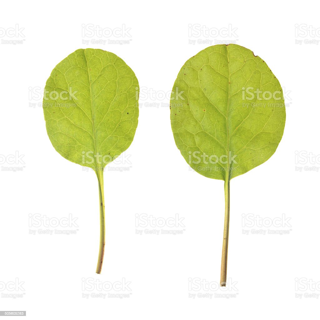 Leaf of of Round-leaved Wintergreen isolated on white stock photo