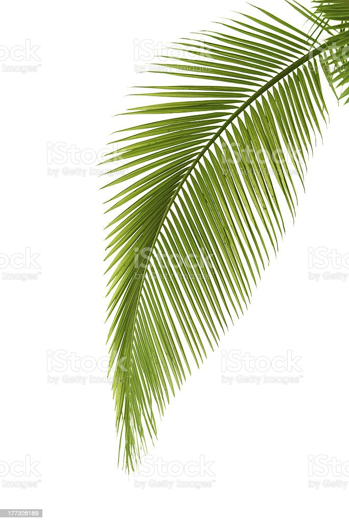 Leaf of palm tree royalty-free stock photo