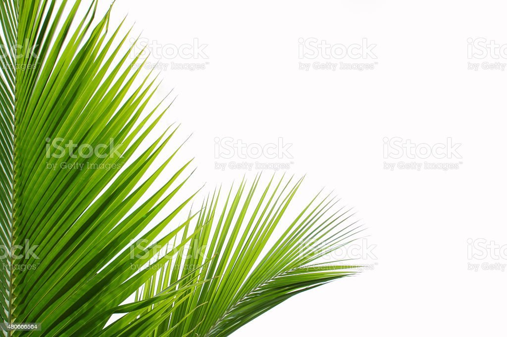 Leaf of palm tree stock photo