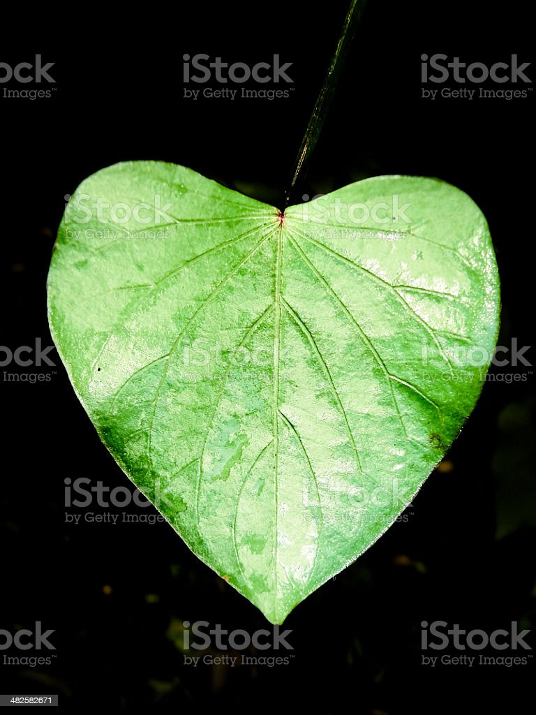Leaf of Sweet potato, Ipomoea batatas royalty-free stock photo