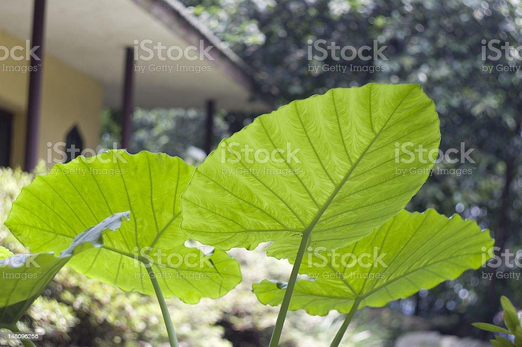 leaf of taro in a garden stock photo