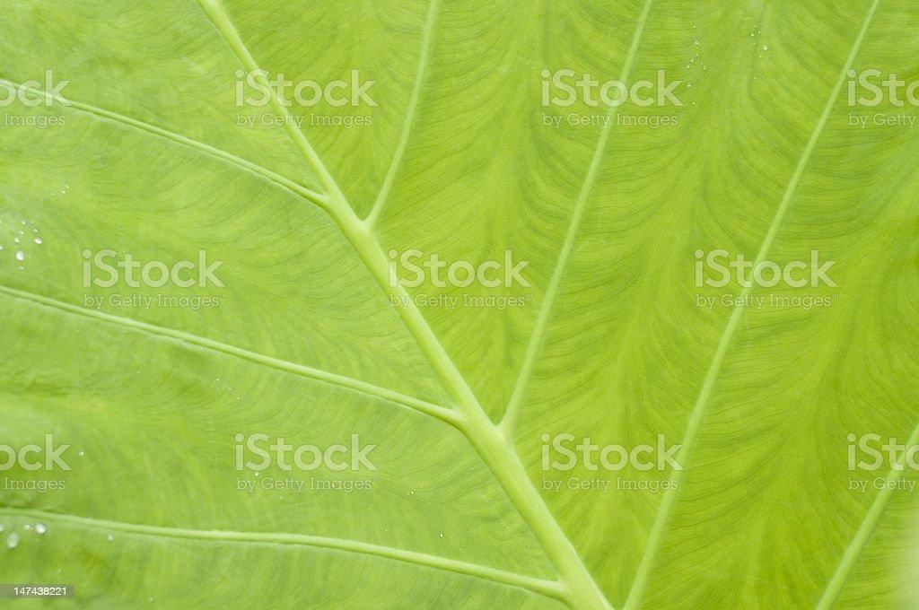 leaf of taro stock photo