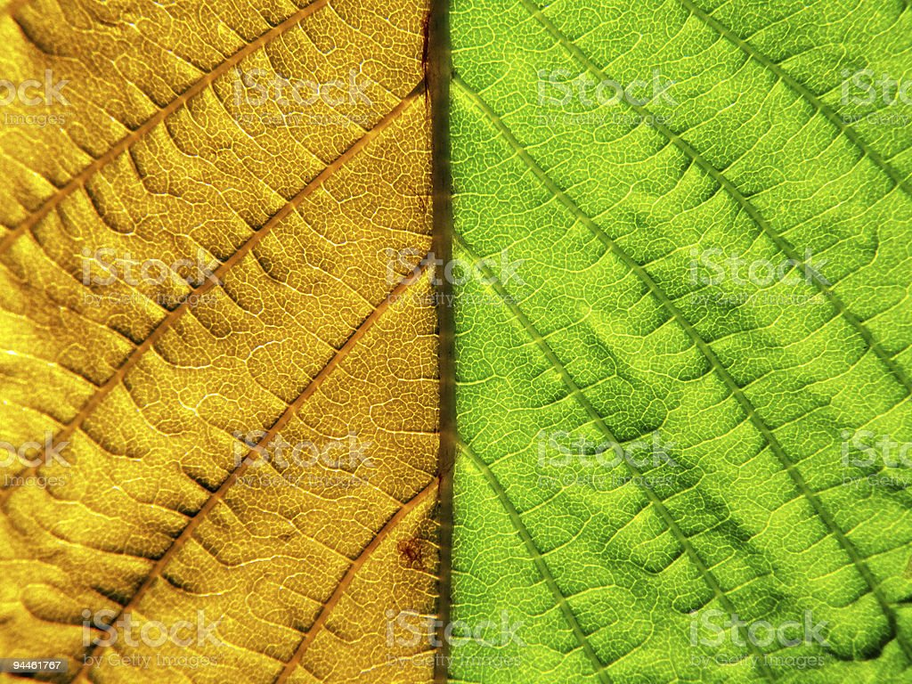 Leaf of the chestnut. royalty-free stock photo