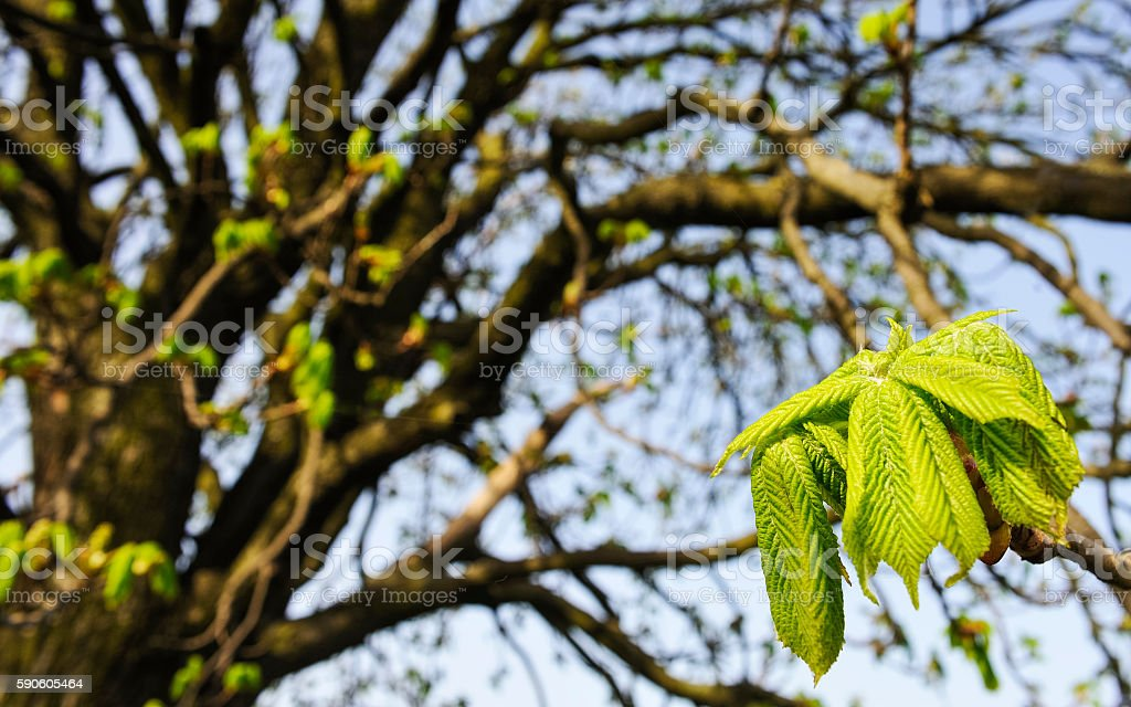 Leaf of the chestnut tree in the spring stock photo