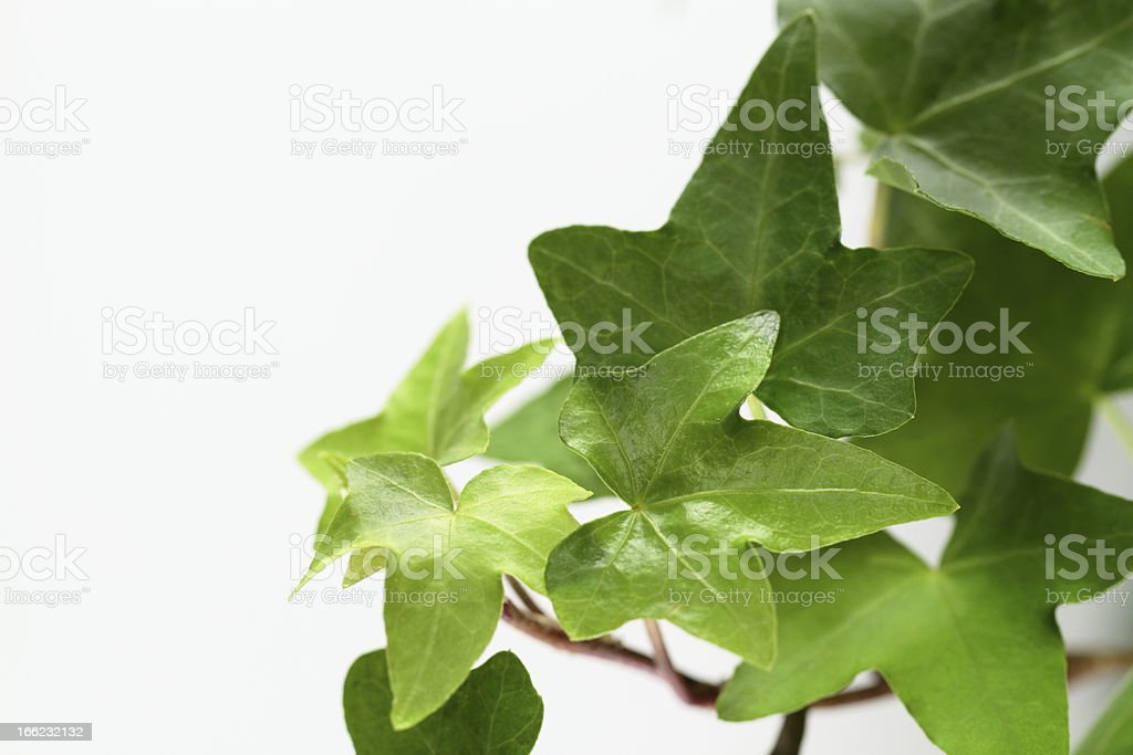 Leaf of the liana stock photo