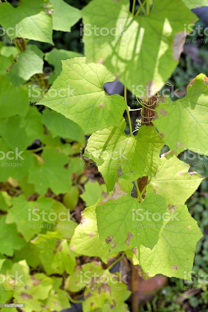 leaf of the luffa , Luffa cylindrica stock photo