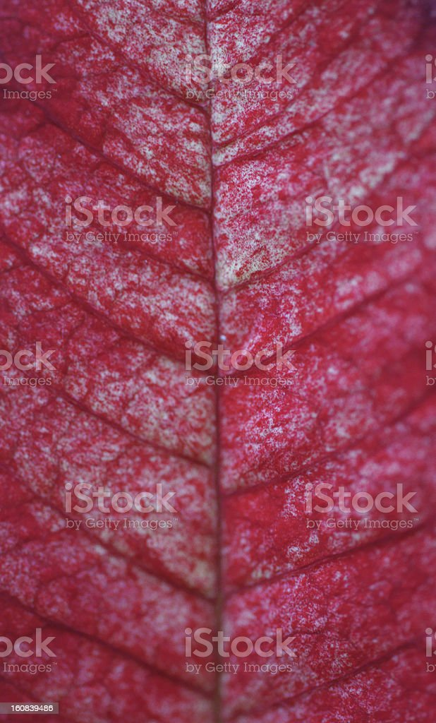 Leaf of the poinsettia royalty-free stock photo