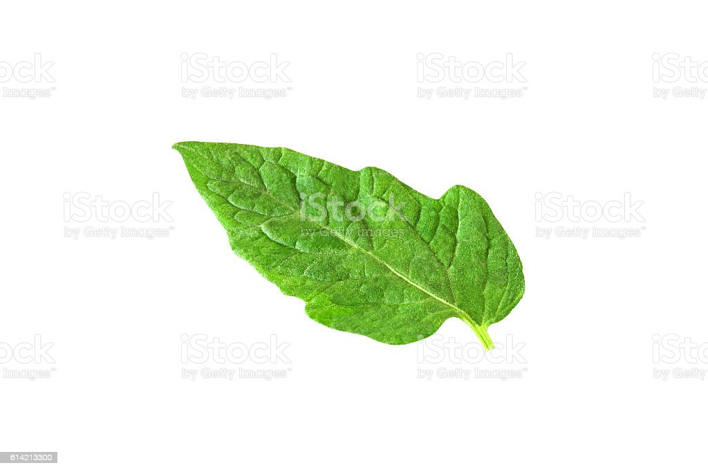 leaf of tomato isolated on white background with clipping path stock photo