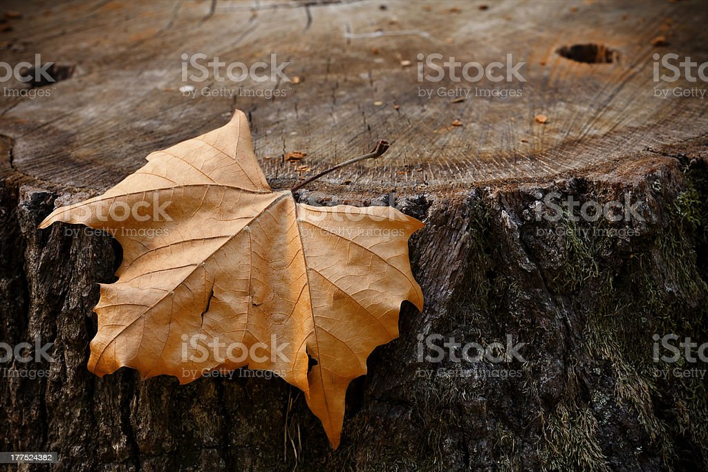 leaf on a tree stump royalty-free stock photo