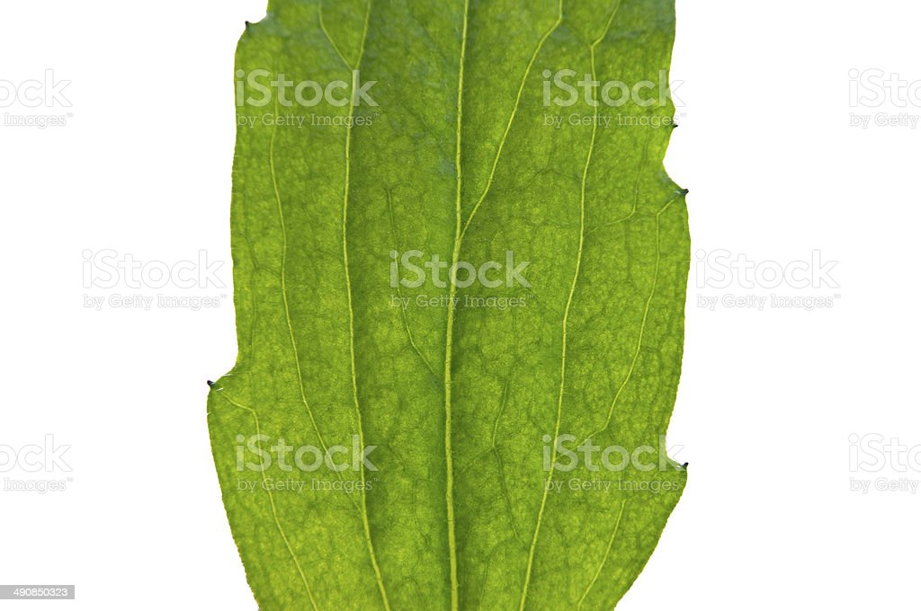 Leaf on the white background stock photo