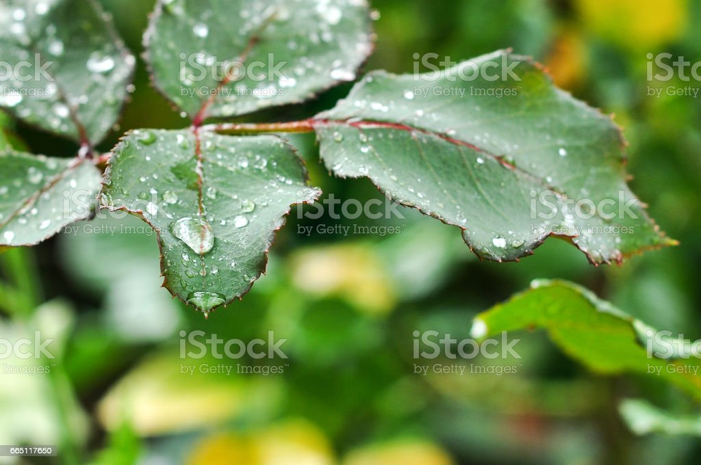 leaf rose with raindrops stock photo
