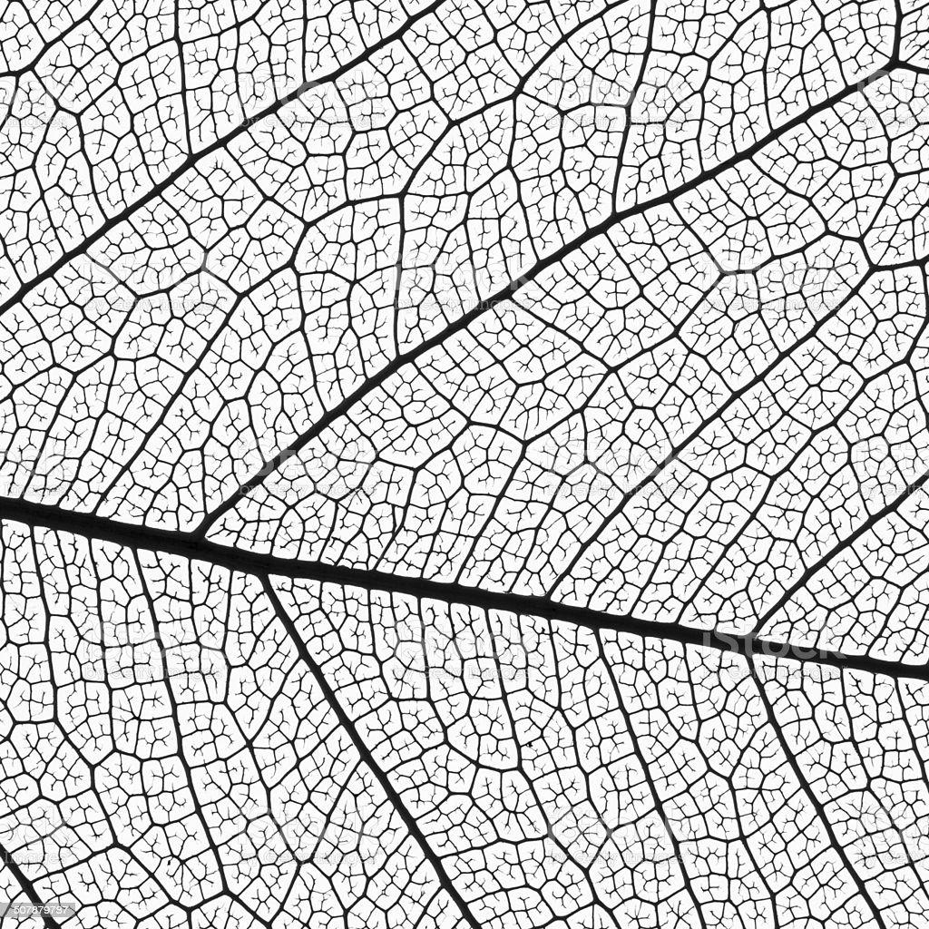 leaf skeleton extremely detailed stock photo