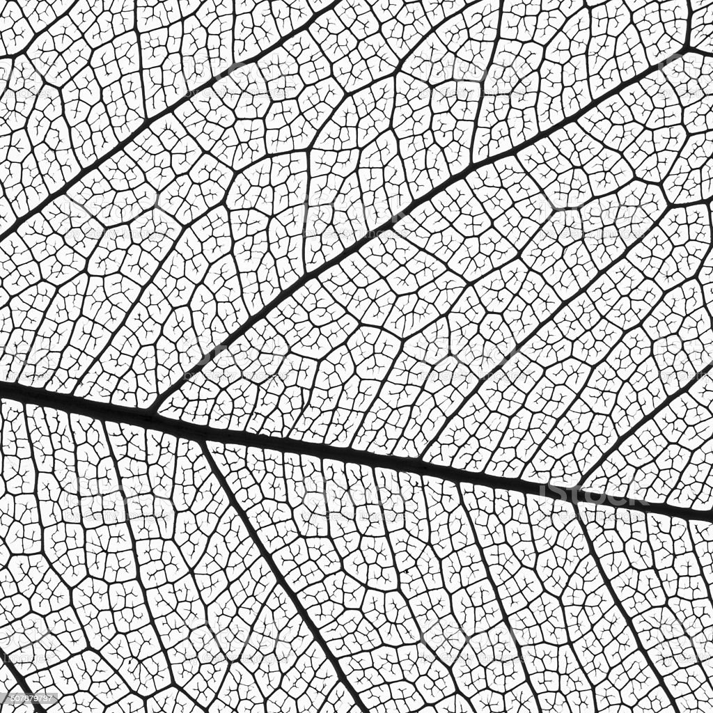 leaf skeleton extremely detailed stock photo