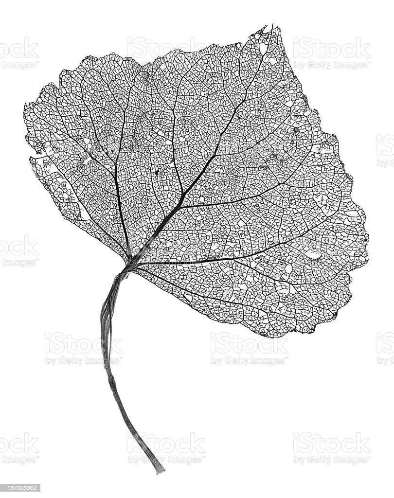 Leaf Skeleton stock photo