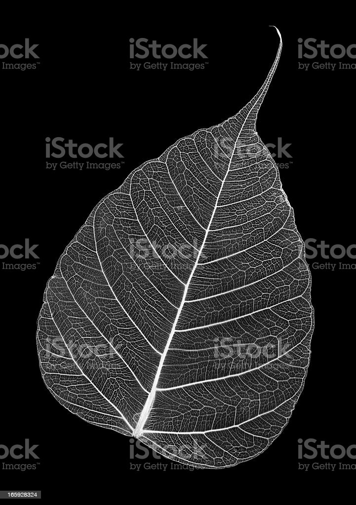 Leaf skeleton stock photo
