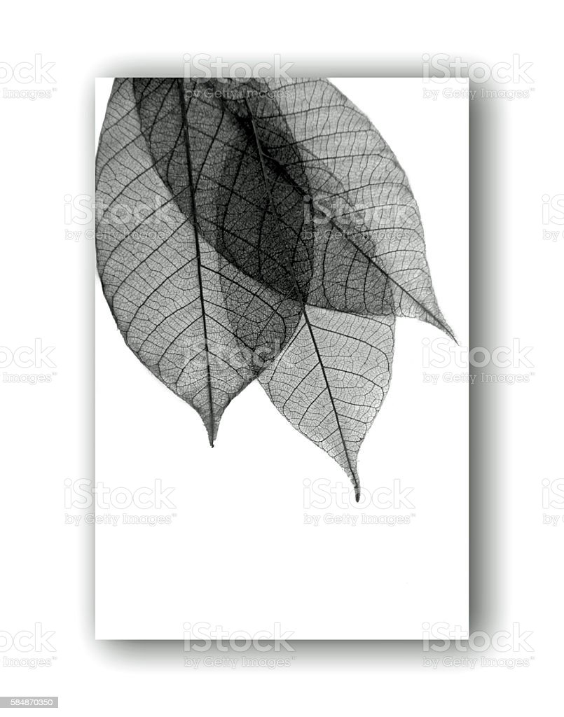 Leaf skeletons in black on a 3 dimensional white background stock photo