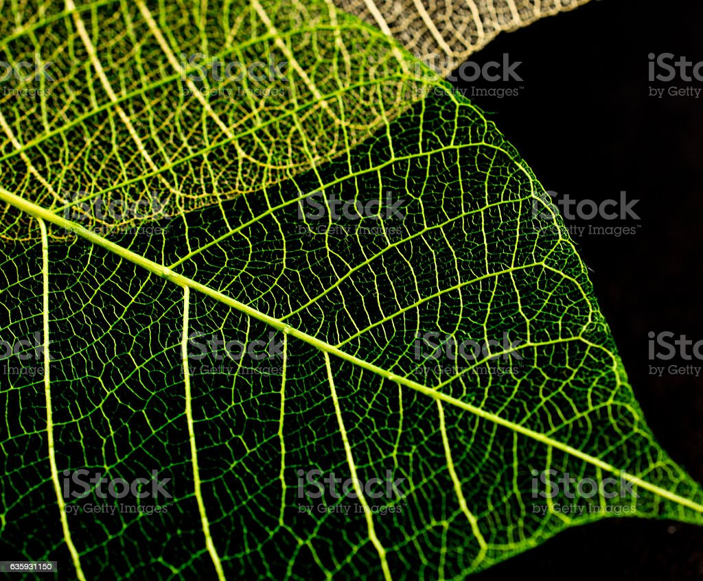 Leaf skeletons  showing the veins on a black background stock photo