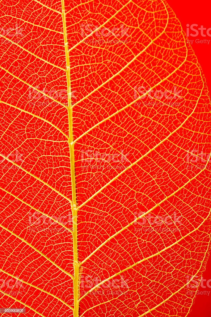 Leaf skeletons  showing the veins on a red background stock photo