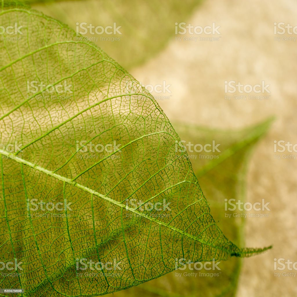 Leaf skeletons  showing the veins on a yellow background stock photo