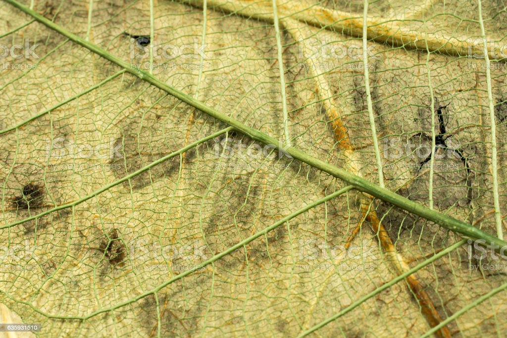 Leaf skeletons  showing the veins on a yellow stock photo