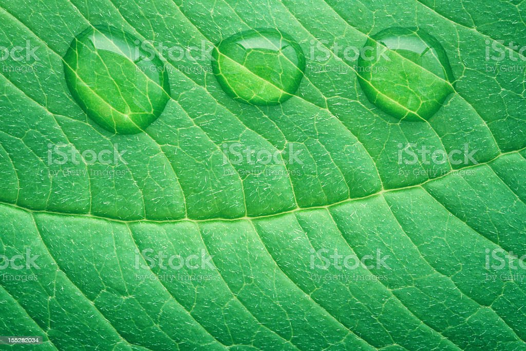 Leaf Surface With Water Drops royalty-free stock photo