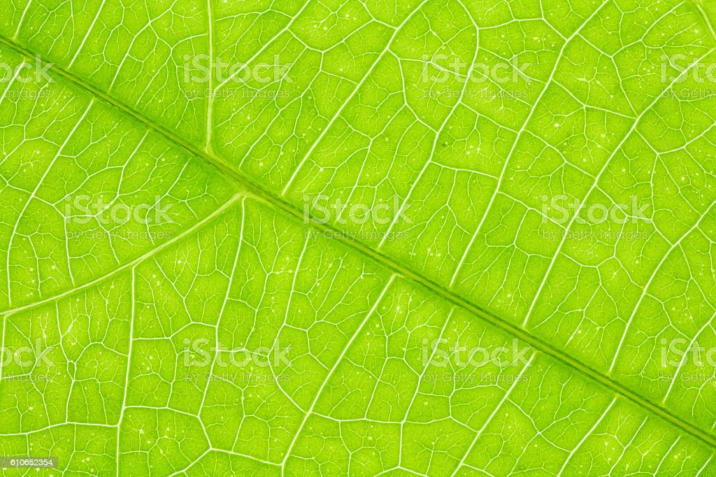 Leaf texture or leaf background for design. stock photo