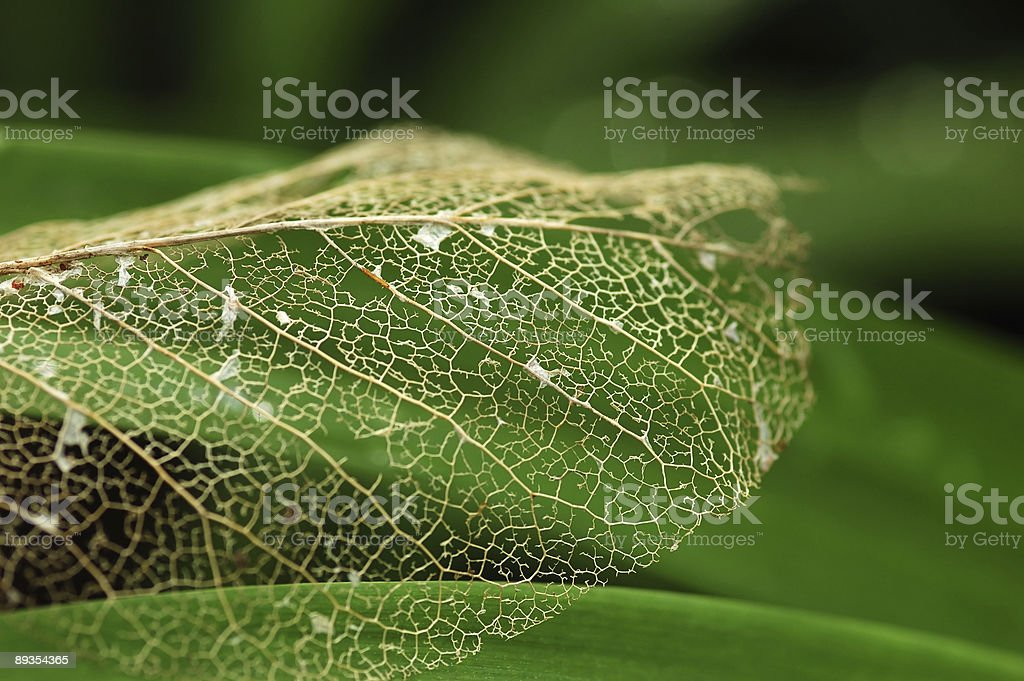leaf vein royalty-free stock photo