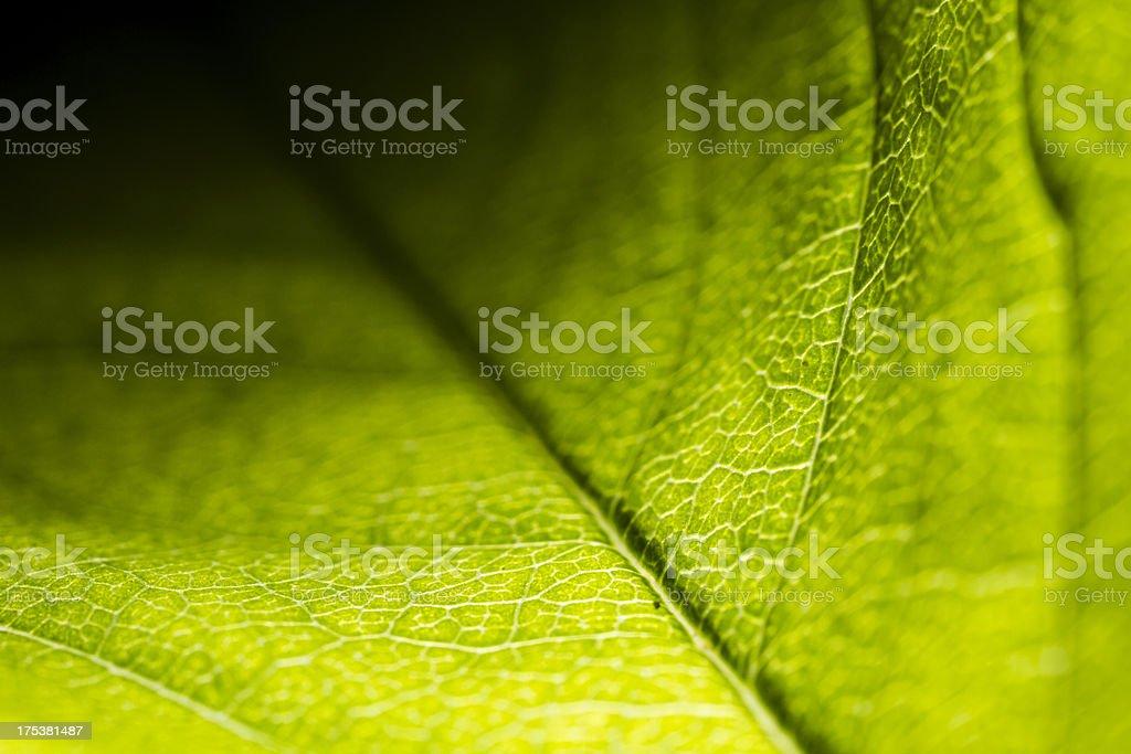 Leaf Veins Macro Series royalty-free stock photo