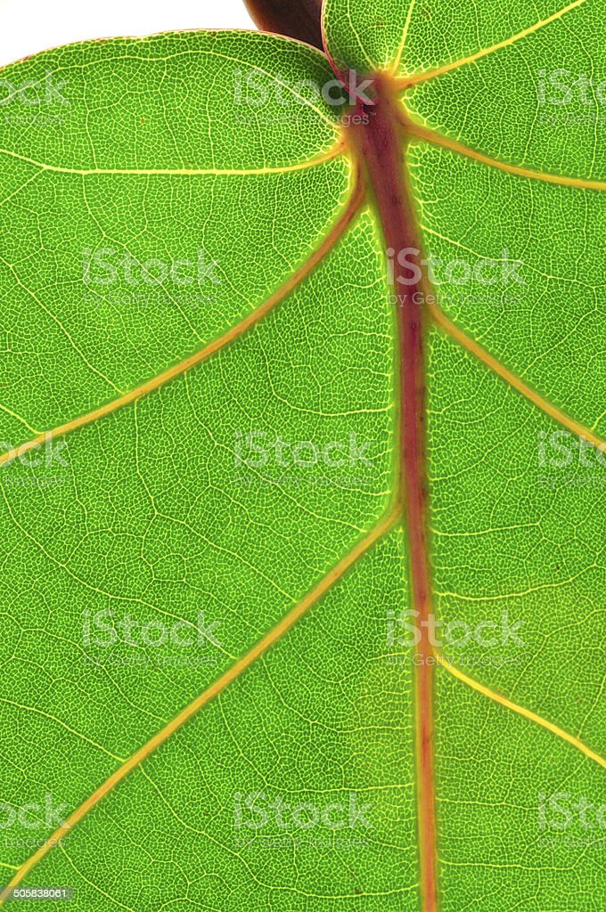 Leaf veins stock photo