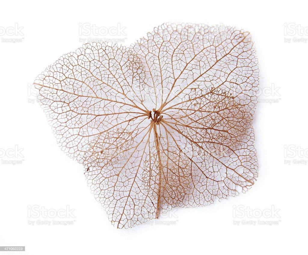 Leaf Veins Skeleton Isolated on White royalty-free stock photo