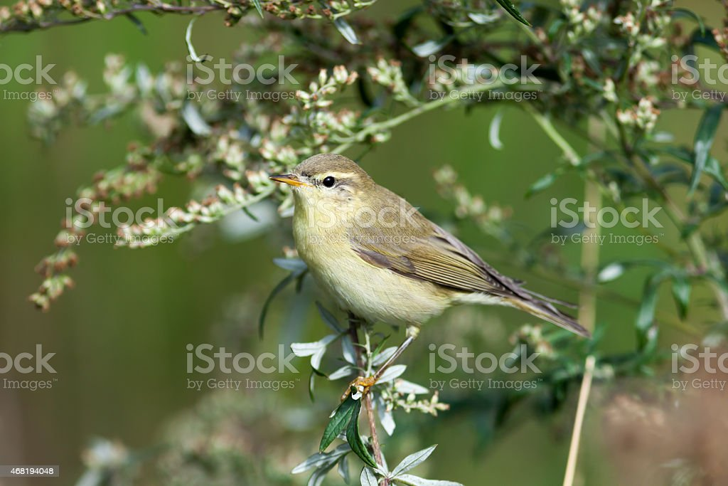Leaf warbler (Phylloscopus sp) stock photo