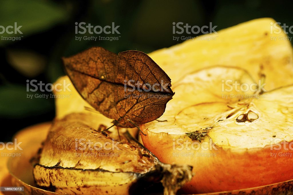 Leaf wing butterfly eating fruits stock photo