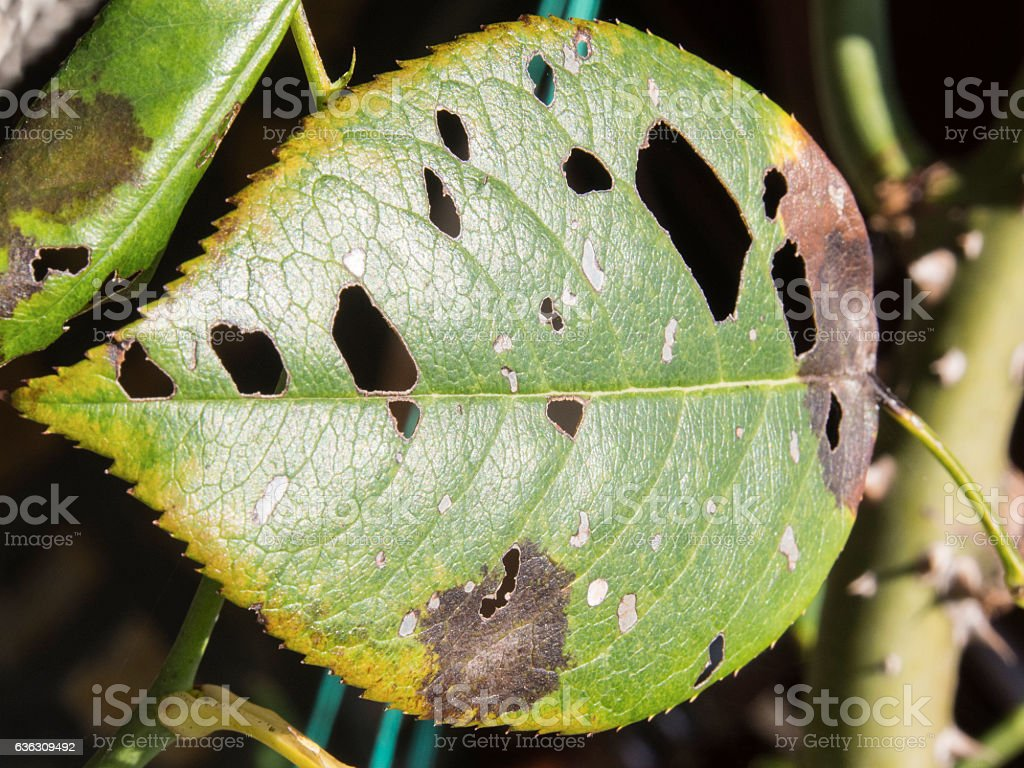 Leaf with holes, eaten by pests stock photo