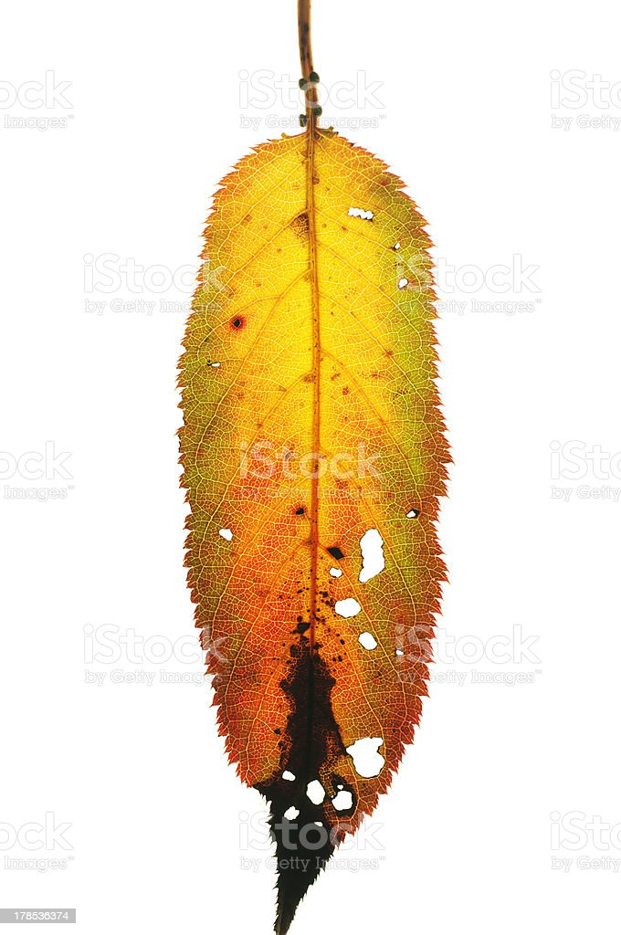 Leaf with holes royalty-free stock photo