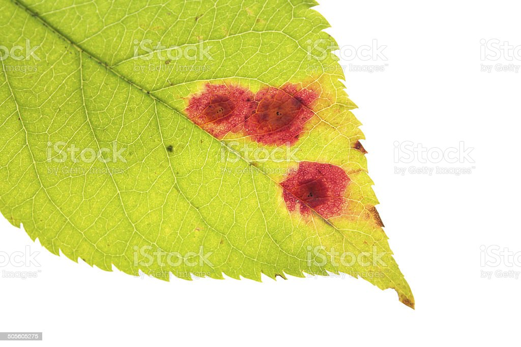 Leaf with Rust of cherry stock photo