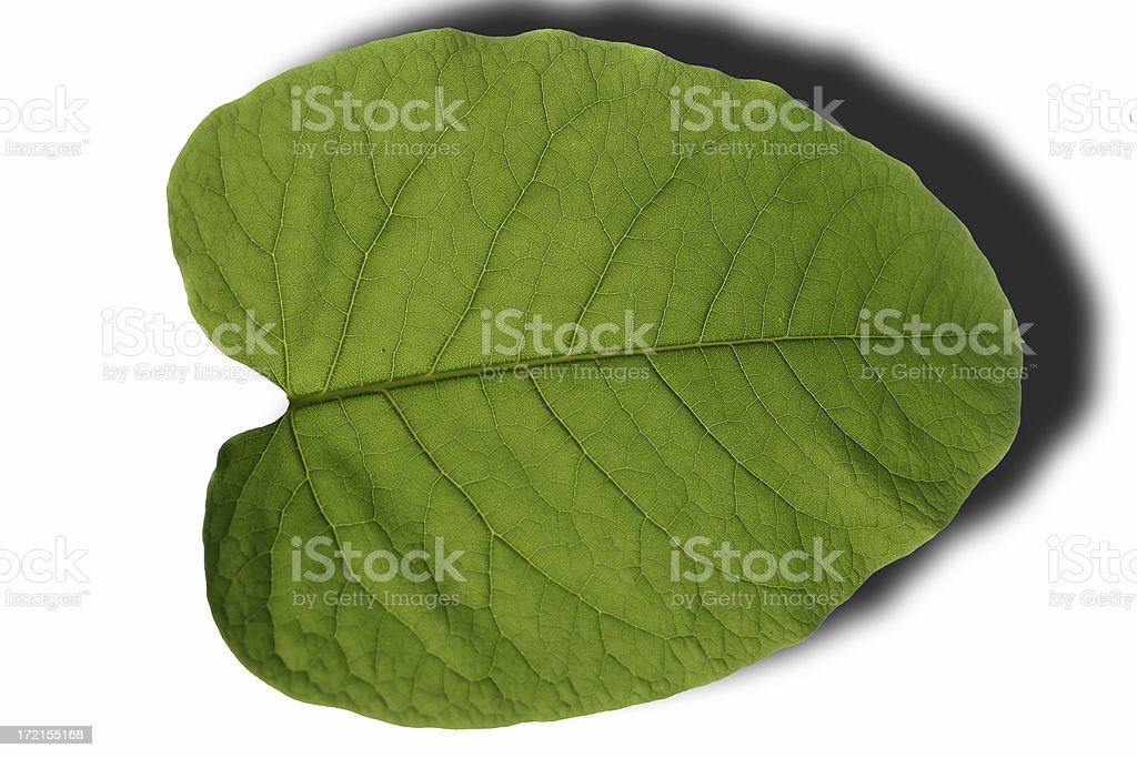 Leaf with visible fibres royalty-free stock photo