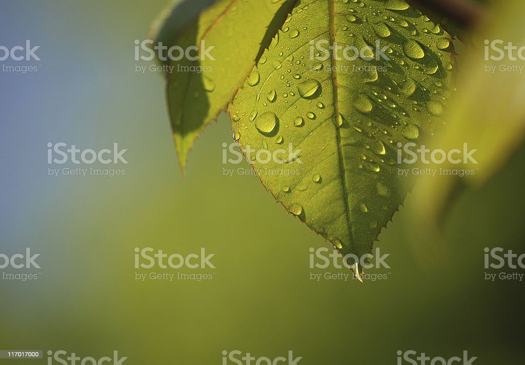 Leaf with water drops royalty-free stock photo