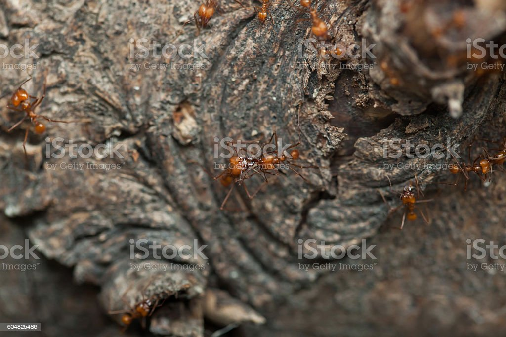 Leafcutter ants (Atta sexdens). stock photo