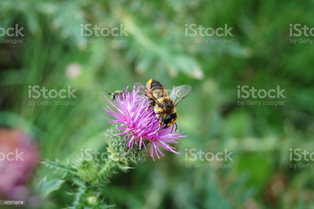 leafcutter bee on thistle stock photo
