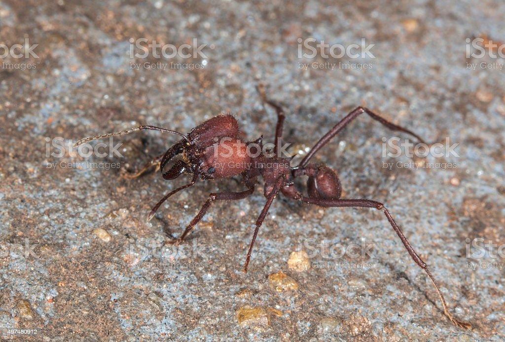 Leaf-cutting Ant  (Atta sexdens) stock photo