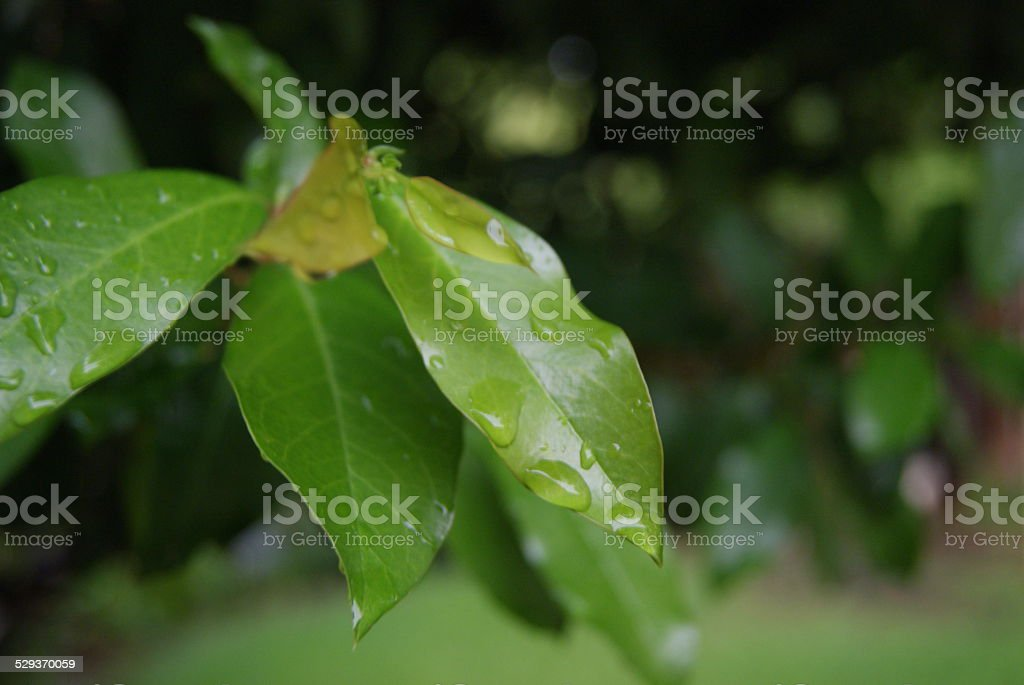 Leafed Rain royalty-free stock photo
