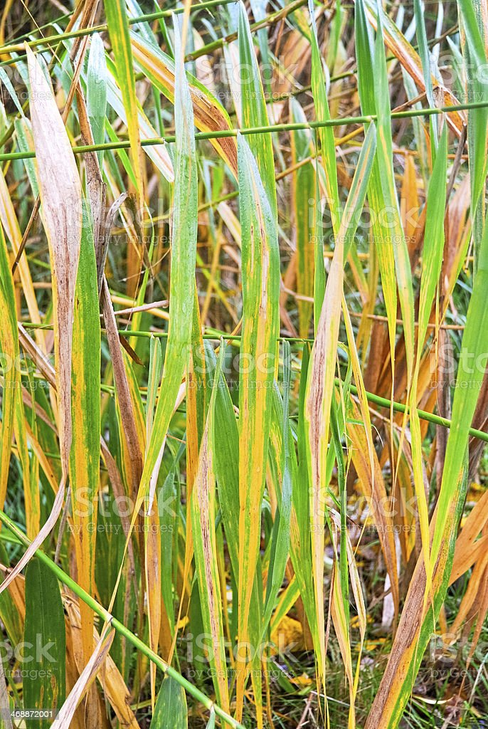 Leafes of reed stock photo