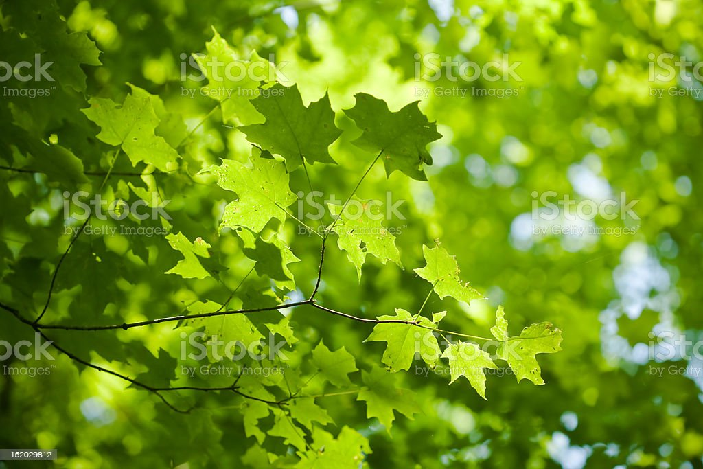 Leaf-filled Branch royalty-free stock photo