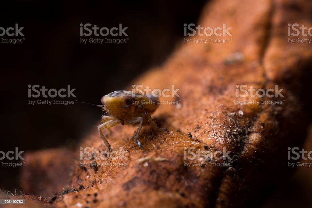 Leafhopper nymph on a dead leaf. stock photo
