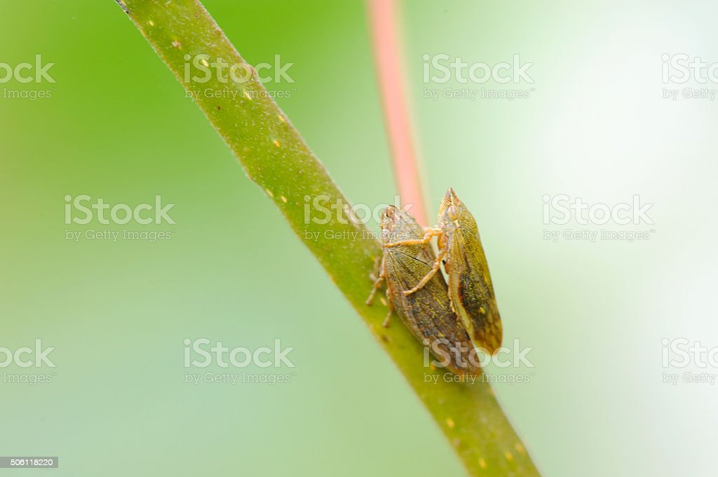 Leafhoppers stock photo