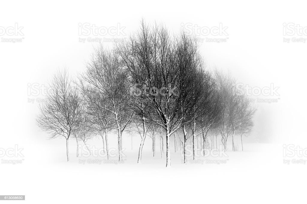 Leafless birch trees isolated in white background stock photo