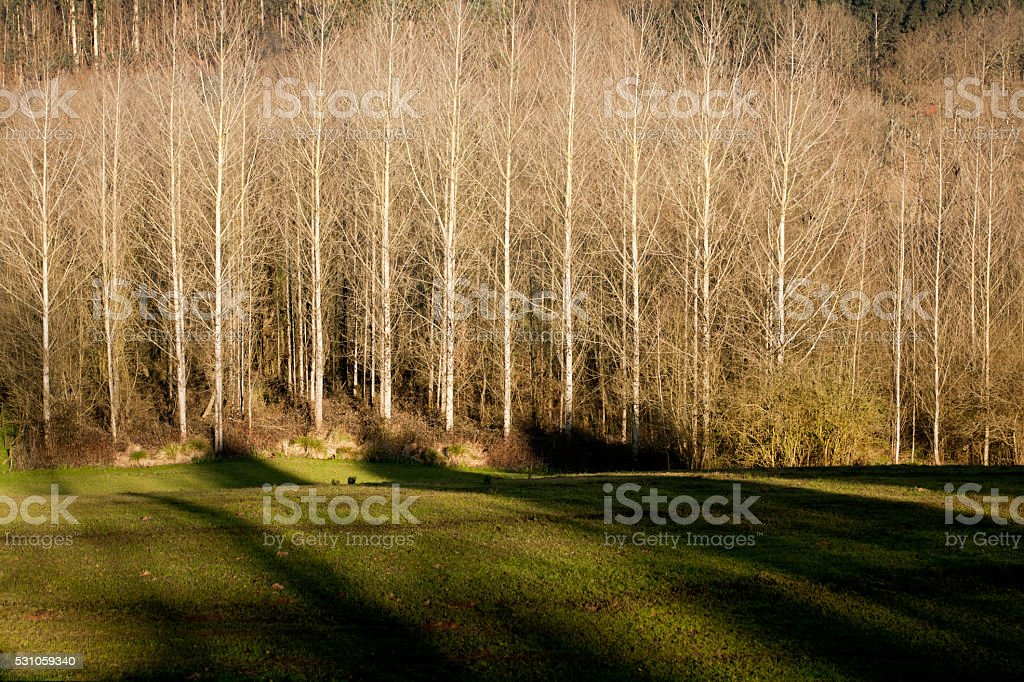 Leafless black poplars forest and green field at dusk. stock photo
