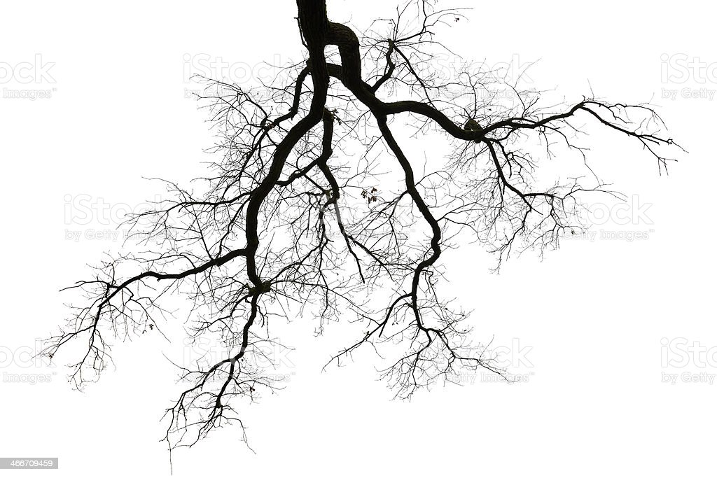 Leafless branches on white stock photo